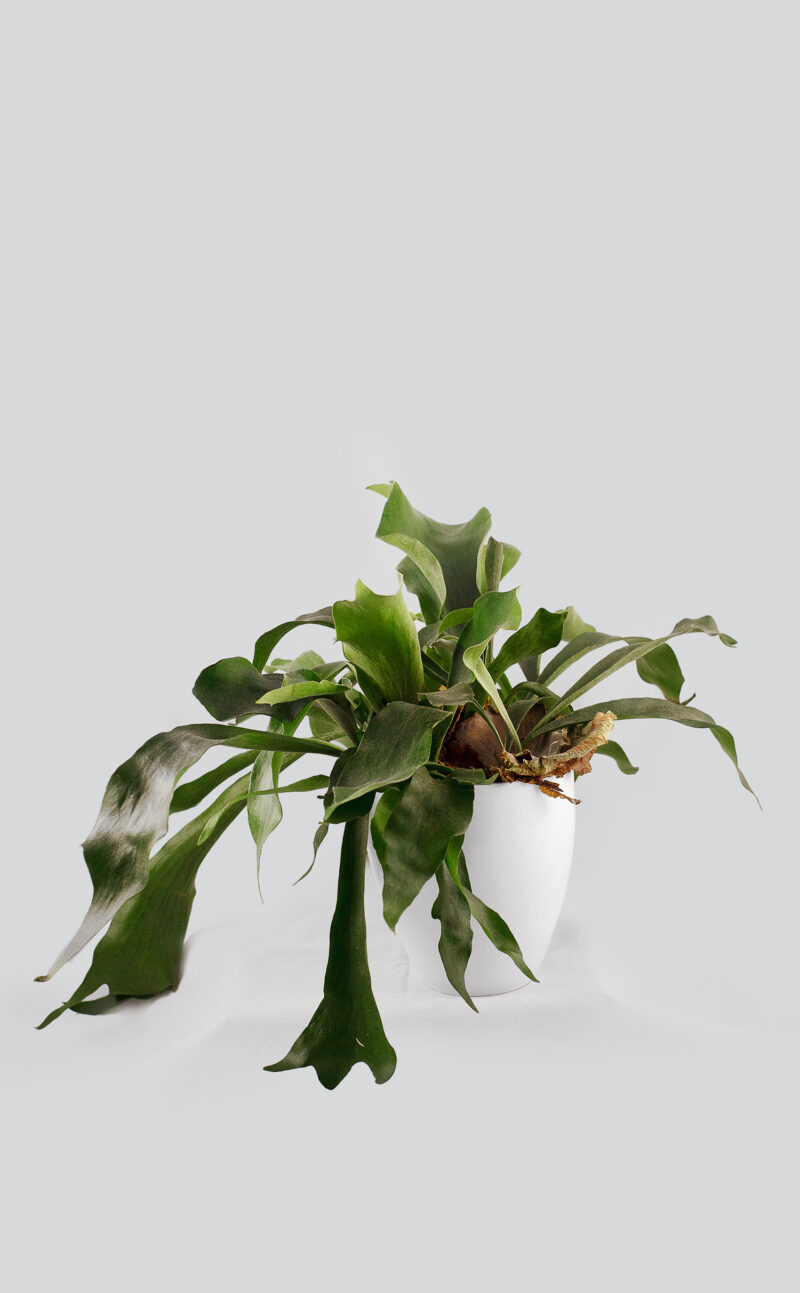 Augalas su vazonu Platycerium bifurcatum