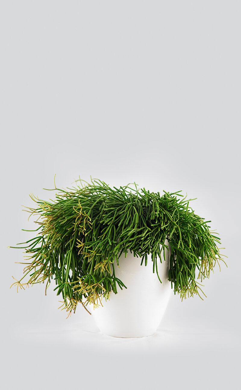 Augalas su vazonu Rhipsalis